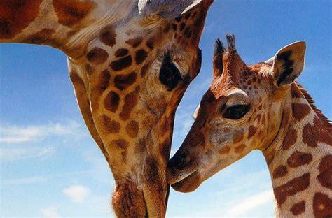 cute, giraffe, giraffes - image #213942 on Favim.com