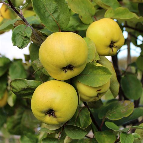 Cydonia Serbian Gold - Serbian Gold Quince Tree | Mail ...