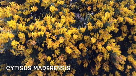 Cytisus maderensis. Garden Center online Costa Brava ...