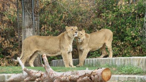 Damos la bienvenida a dos leonas asiáticas procedentes de ...