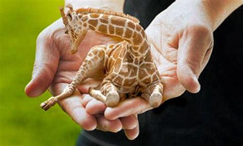 Dashing Dasher: baby giraffes