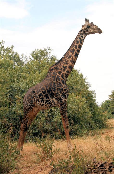 Datei:Giraffa camelopardalis tippelskirchi Massaigiraffe ...