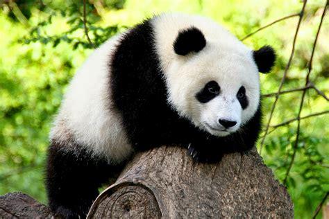 Datos Curiosos: Cuánto Duerme Un Oso Panda | Imágenes de ...