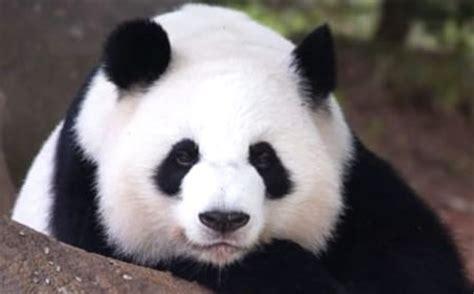 De ositos panda   Imagui