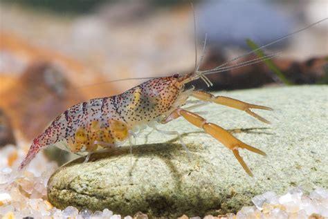 Dead Shrimp Blues: The Imperilled Status of Freshwater ...