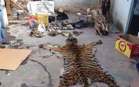 Decomisan pieles de animales «exóticos»   8 Columnas