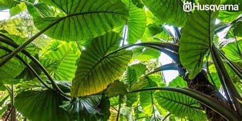 Decora tu casa con Alocasias, las plantas de grandes hojas.