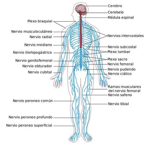 Desarrollo del Sistema Nervioso en Humanos  2 Etapas