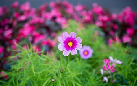 Descargar 2880x1800 flores naturaleza jardín cosmos fondo ...