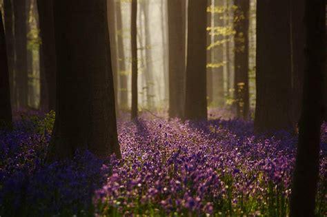 Descubre TU MUNDO: Hallerbos Bélgica - el mágico bosque ...
