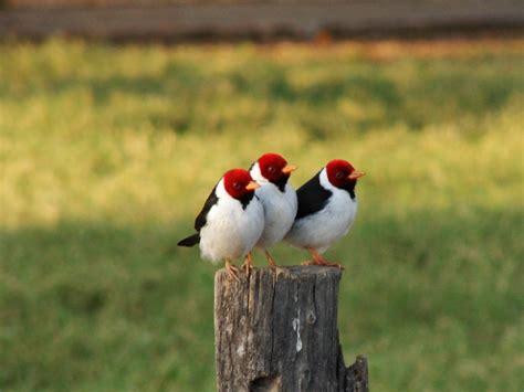 Desmatamento e Extinção das espécies: Algumas aves ...