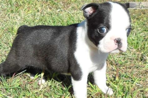 Devoted Male/Female Boston Terrier Puppies for sale ...
