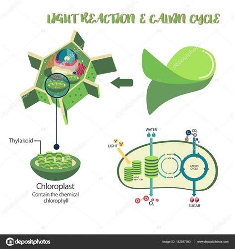 Diagrama de proceso de la fotosíntesis — Archivo Imágenes ...