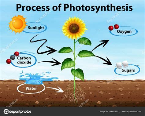 Diagrama que muestra el proceso de la fotosíntesis ...