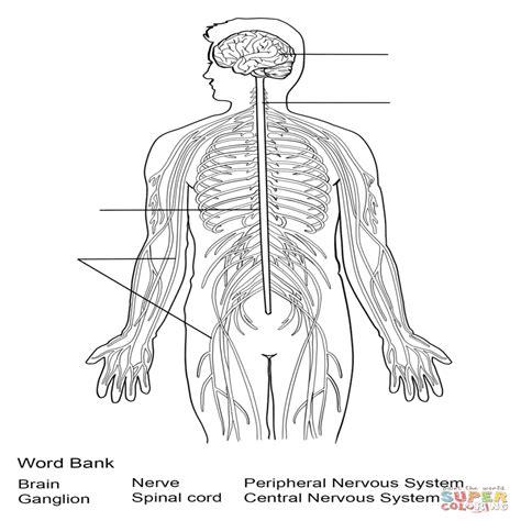 Dibujo De Ejercicio Sistema Nervioso Para Colorear Dibujos ...