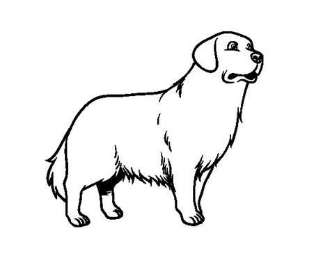 Dibujo de Perro Golden retriever para Colorear   Dibujos.net