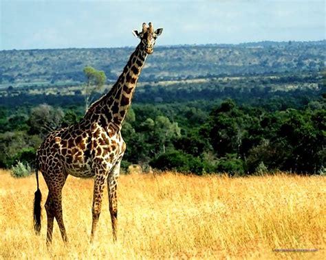 Dibujos bonitos de jirafas - Imagui