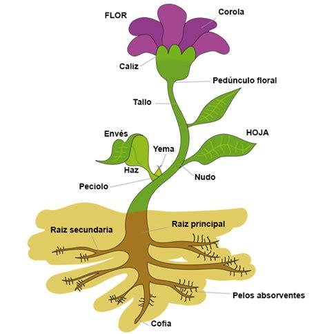 Dibujos de una planta y sus partes y la funcion de cada ...