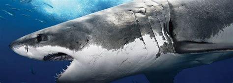 Dientes tiburon » TIBURONPEDIA