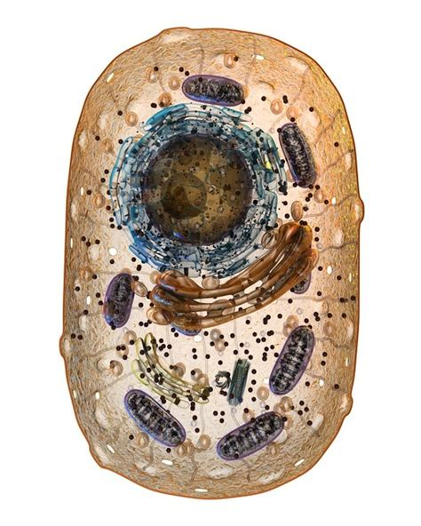 Diferencias entre la célula animal y célula vegetal ...