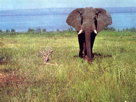 Diferencias Sobre Elefante Africano Y Asiatico