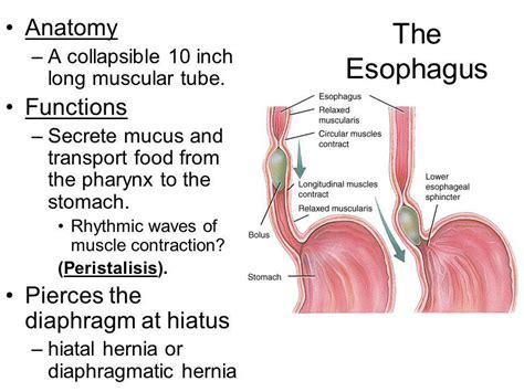 Digestive Tract = ___________ Mouth Pharynx Esophagus ...
