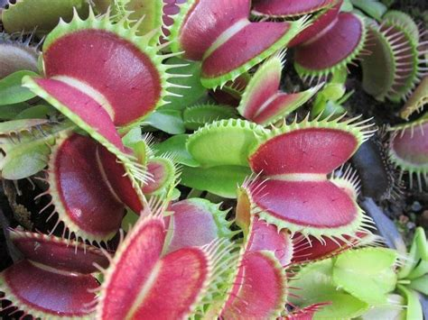 Dionaea: información, cultivo y cuidados | Plantas