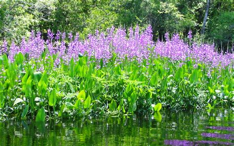 Discover the Beauty and Role of Native Aquatic Plants – in ...