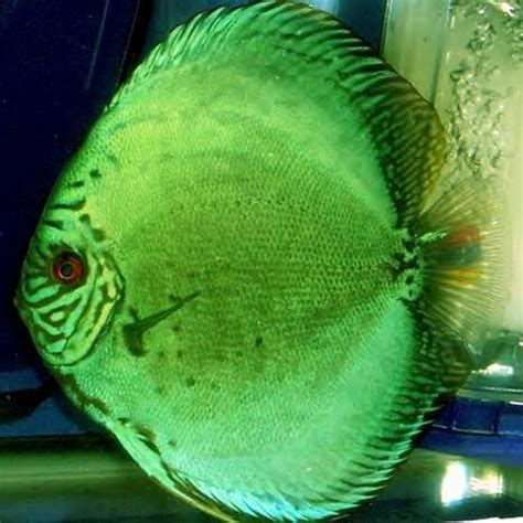 Discus Fish Types - Discus Fish Types