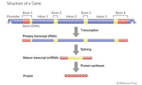 DNA & mRNA: Introns and Exons – SchoolWorkHelper