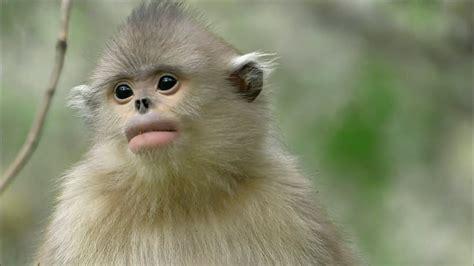 Documental - Los Monos de Shangri-La | Animales en Video