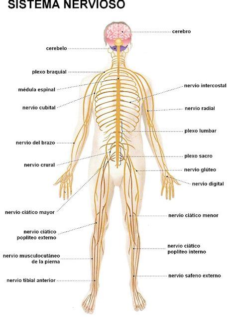 ¿Dónde se encuentra el sistema nervioso?   Sistema nervioso