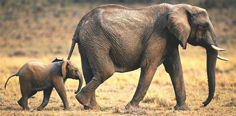 ¿Dónde vive el elefante? 【Actualizado 2019】
