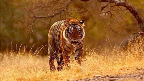 Donde Vive El Tigre De Bengala?   Que Comen, Como Nacen