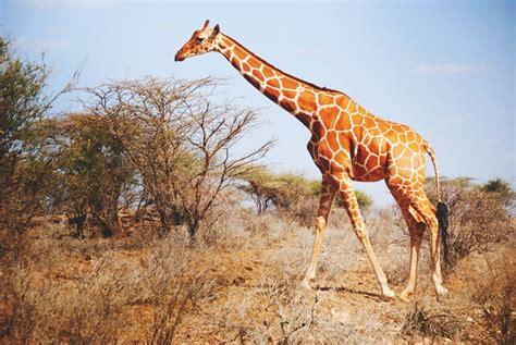 ¿Dónde vive la jirafa? 【Actualizado 2018】