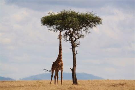 Dónde viven las jirafas y de qué se alimentan