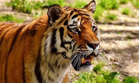 Dónde viven los tigres y de qué se alimentan