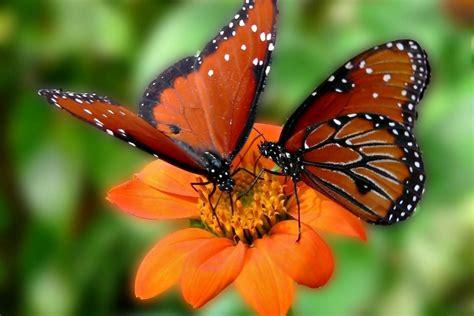 Dos mariposas sobre una flor naranja (75599)