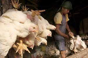 Dos nuevas muertes por H5N1 en Indonesia   elmundo.es