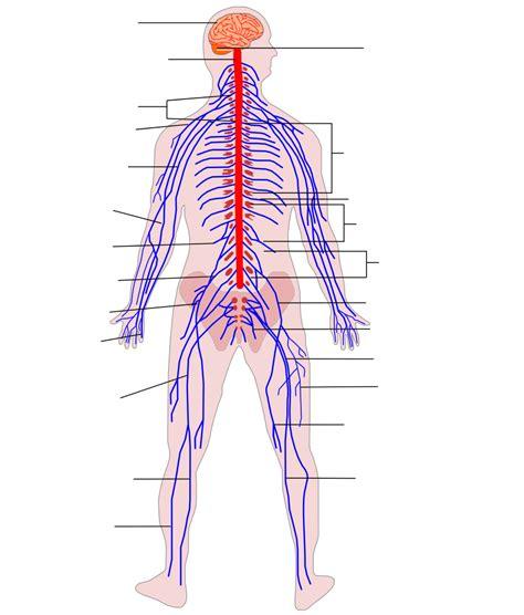 Dosya:Human Nervous System diagram (no text).svg - Vikipedi