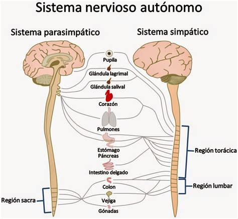 Dra.Durán: SISTEMA NERVIOSO AUTÓNOMO  SIMPATICO PARASIMPATICO