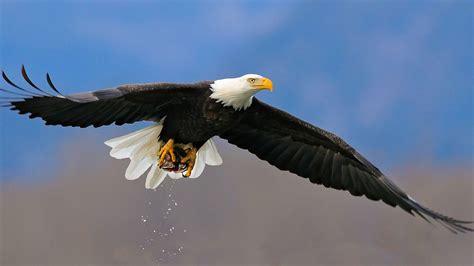 Eagle HD Wallpapers 1080p | Full HD Eagle Desktop Photos ...