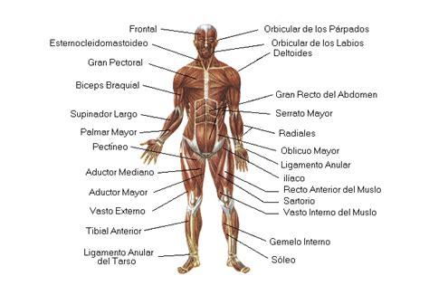 EDUCACIÓN FÍSICA RAFAEL J. MEJÍA: Músculos del cuerpo humano