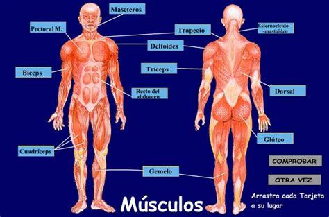educadultos   Los músculos