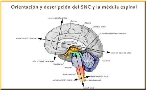 Ejes de Forel y de Meyner: división del sistema nervioso ...