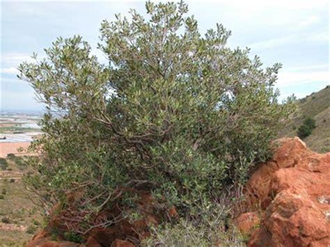 El Acebuche, el olivo silvestre | Esencia de Olivo ...