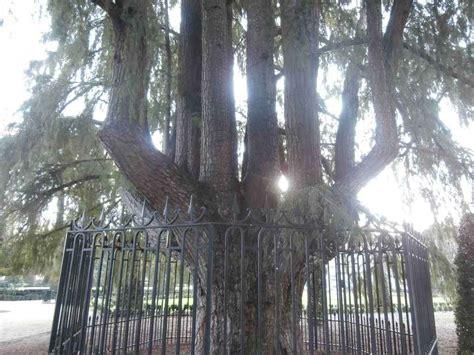 El árbol más antiguo de Madrid - Mirador Madrid
