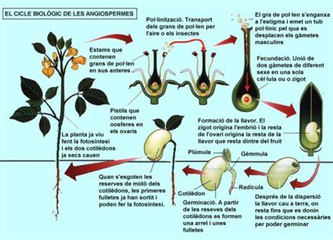 el blog de irene : LA REPRODUCCIÓ DE LES PLANTES
