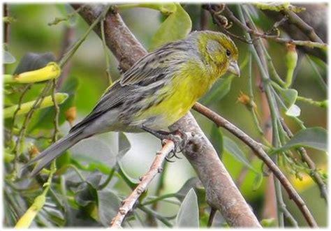 El canario silvestre