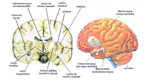 El cerebro posee una serie de peculiaridades anatómicas ...